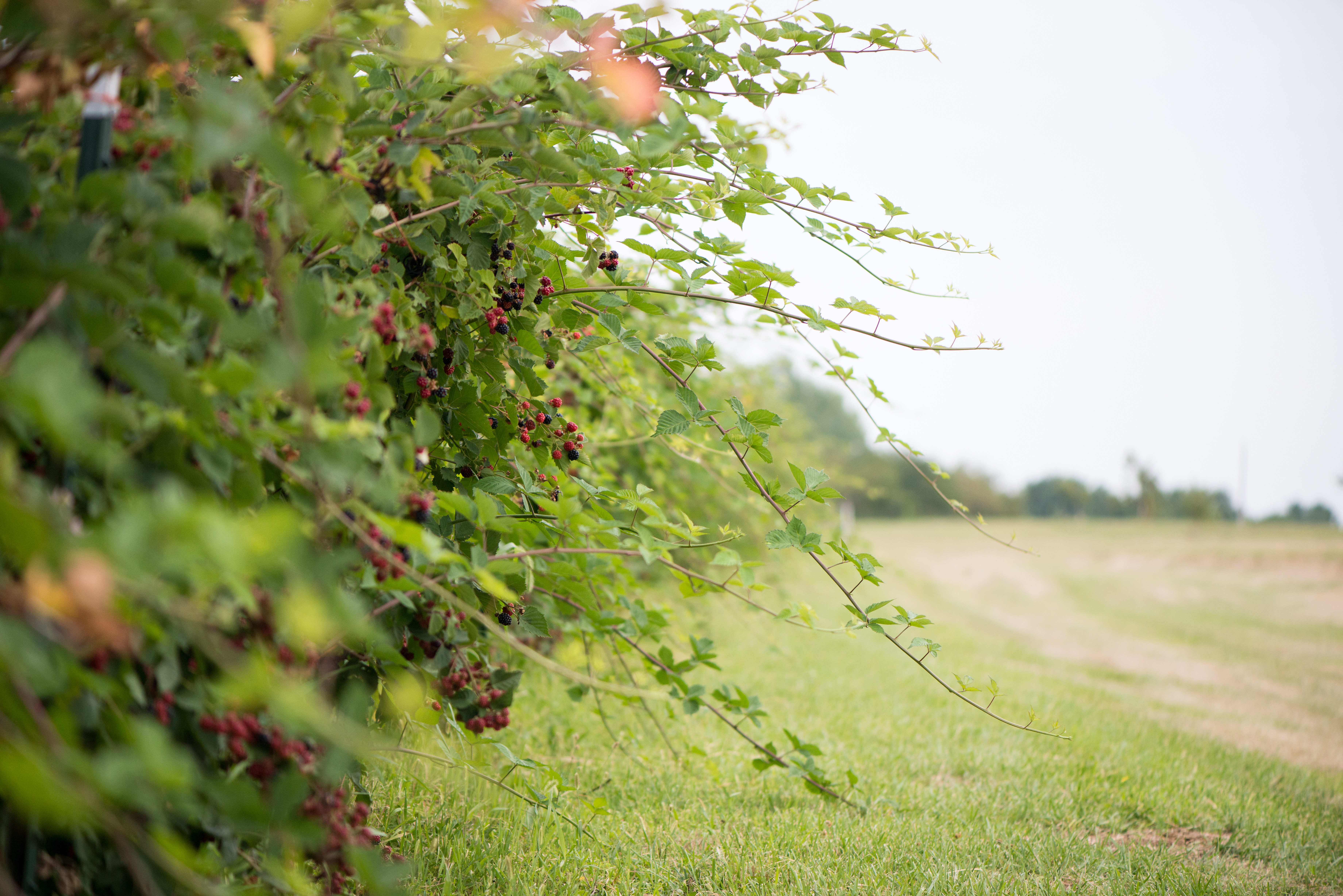 Blackberry Orchards | Now, Forager | Teresa Floyd Photography