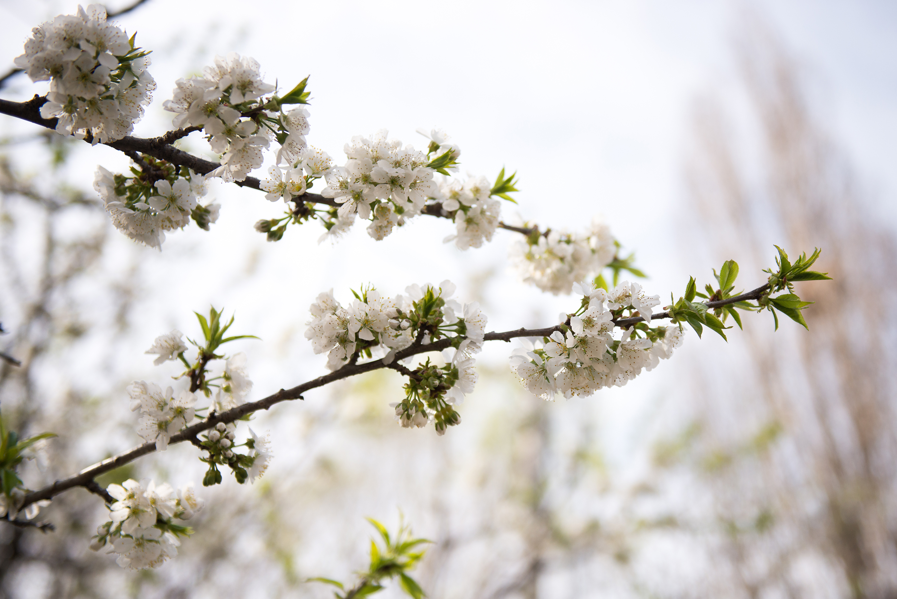 White Cherry Blossoms | Now, Forager | Teresa Floyd Photography