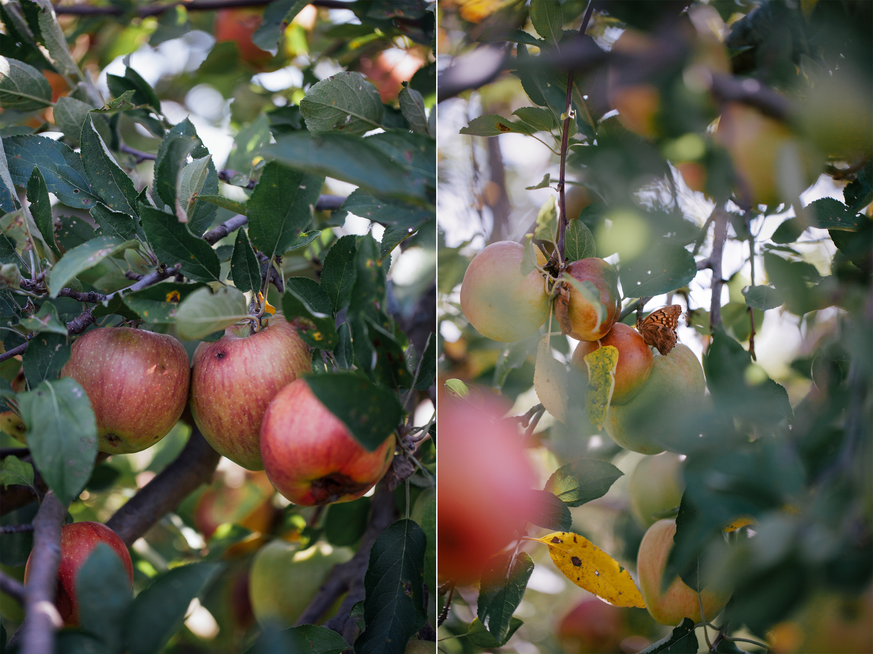 Weston Apple Orchard | Now, Forager | Teresa Floyd Photography