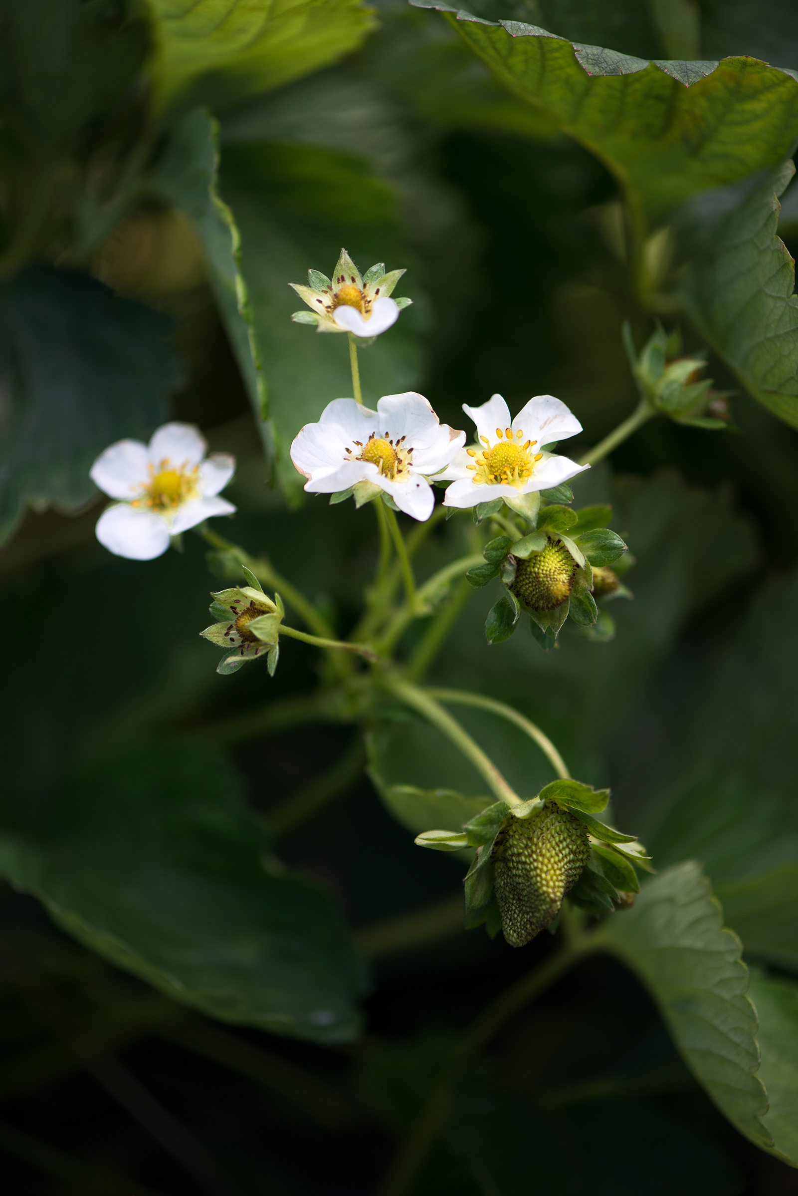 Strawberry Blossoms | Now, Forager | Teresa Floyd