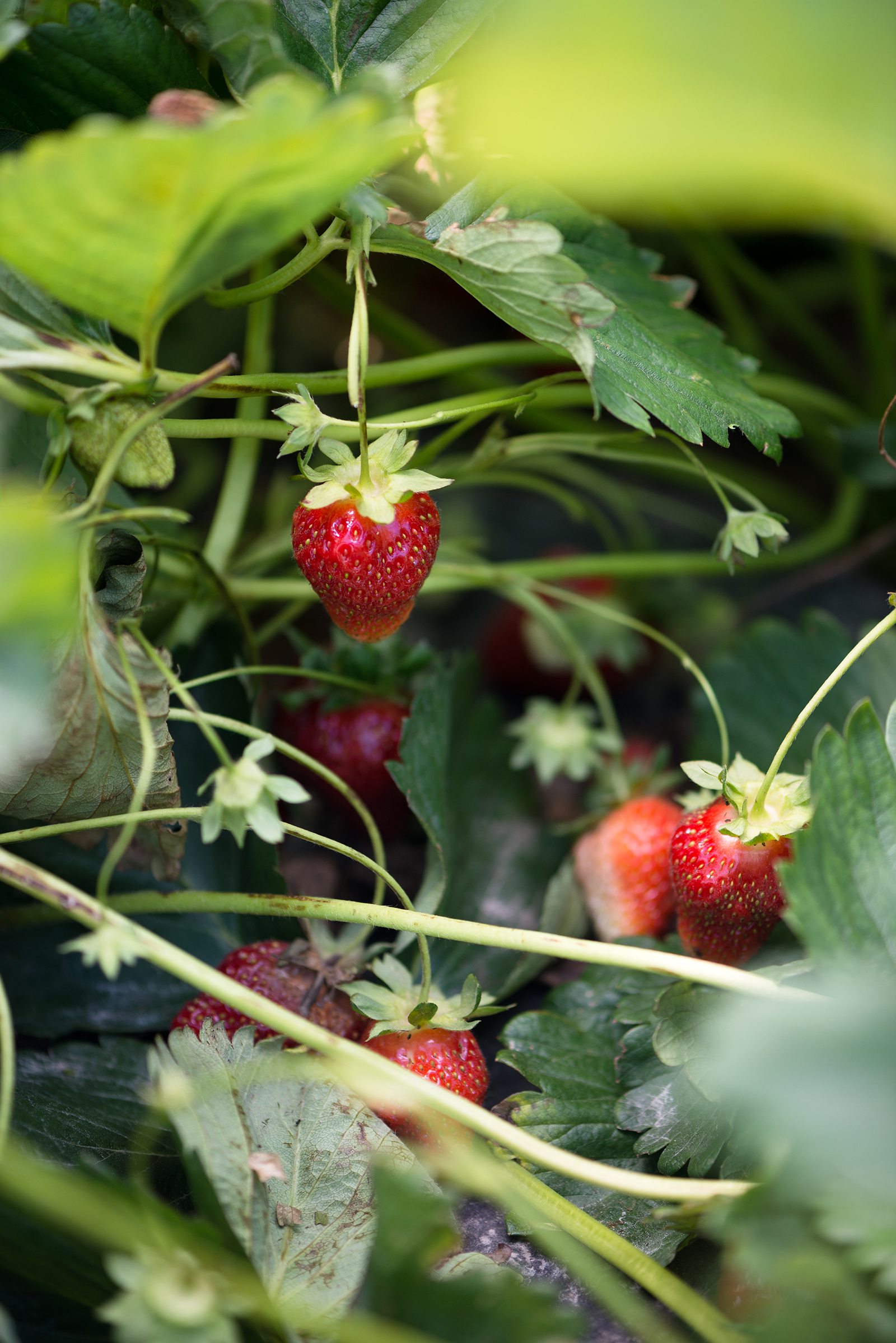 Strawberry Picking | Now, Forager | Teresa Floyd