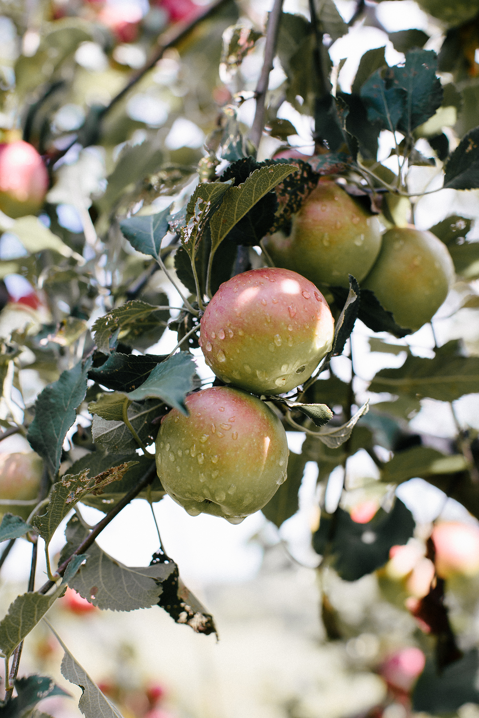 Weston Red Barn Farm Apples | Now, Forager | Teresa Floyd