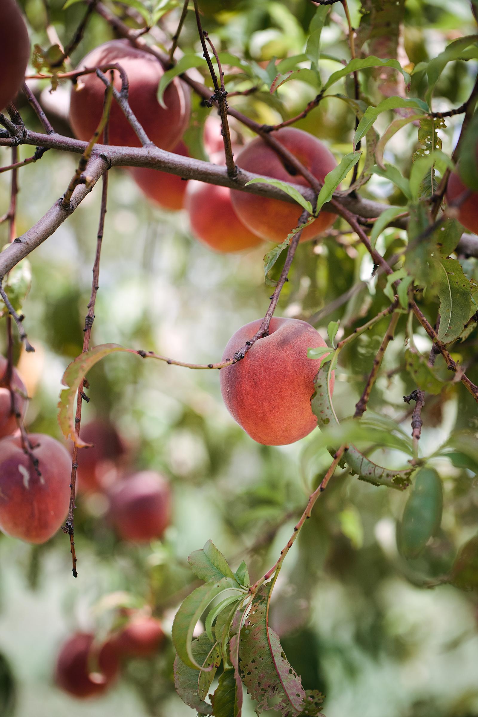 Schweizer Orchard | Now, Forager